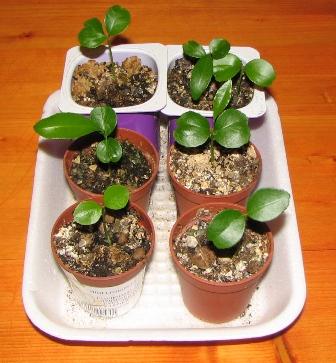 Как посадить семена апельсина в домашних условиях
