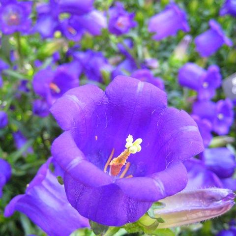 Цветы колокольчики садовые с
