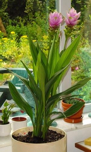 Растение куркума фото