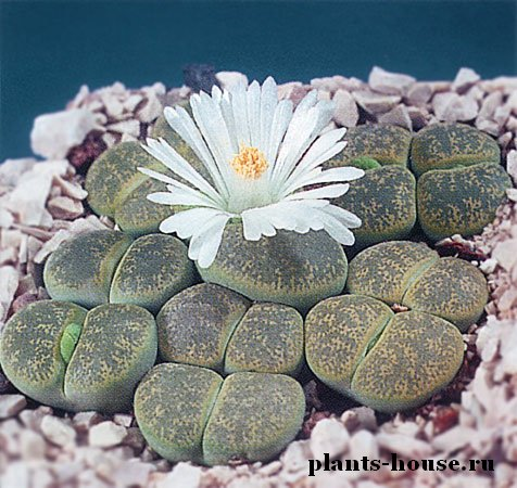 Фото цветы камни