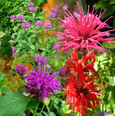 фото червона рута цветок
