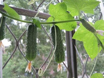 Как вырастить балконные огурцы.
