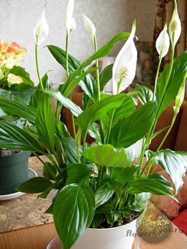 Вредные и опасные комнатные цветы. Женский сайт www 68