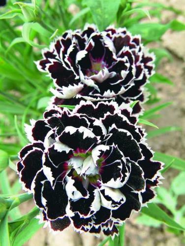РАССАДА ЦВЕТОВ Питомник растений петуния цветы сурфиния
