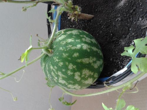 Как вырастить арбуз в домашних условиях на огороде