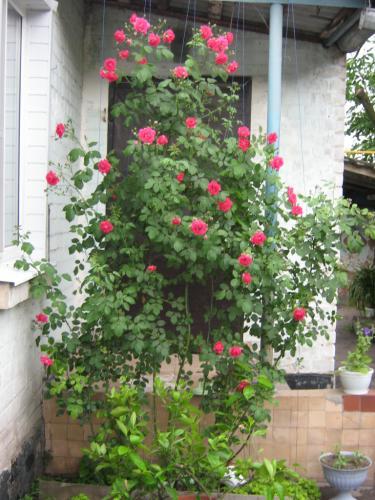 Для опоры для розы может служить любой