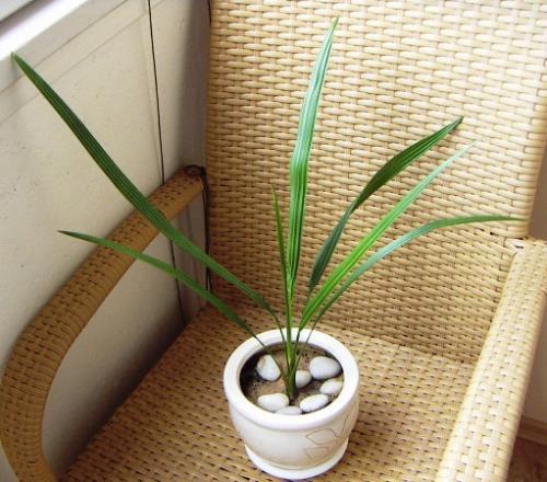 Как посадить финиковую пальму из косточки в домашних условиях