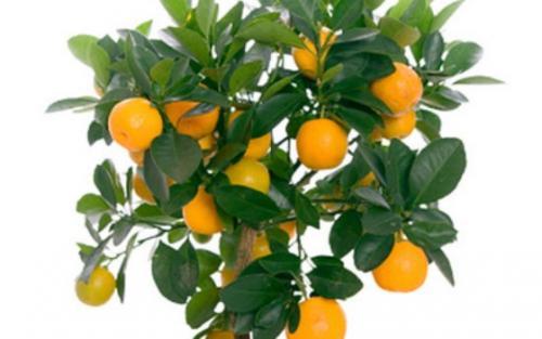 Как вырастить лимон из косточки лимонное дерево в 70