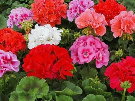 герань уход в домашних условиях цветение фото