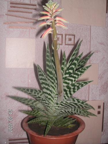Когда цветет алоэ в домашних условиях