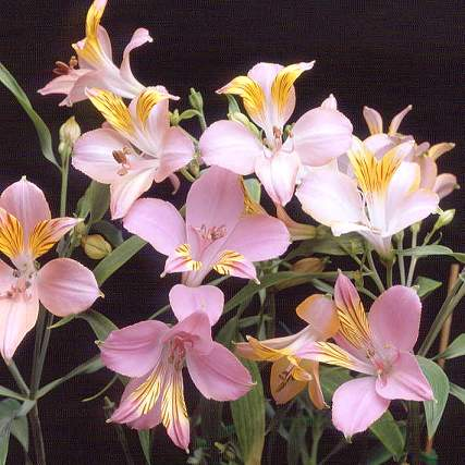 Цветы похожие на лилии только маленькие 167