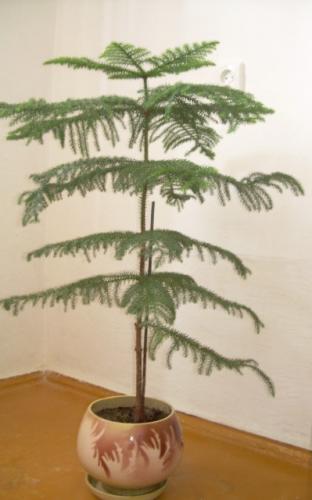 Растение как елочка