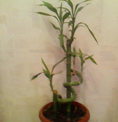 Бамбук в горшке с землей