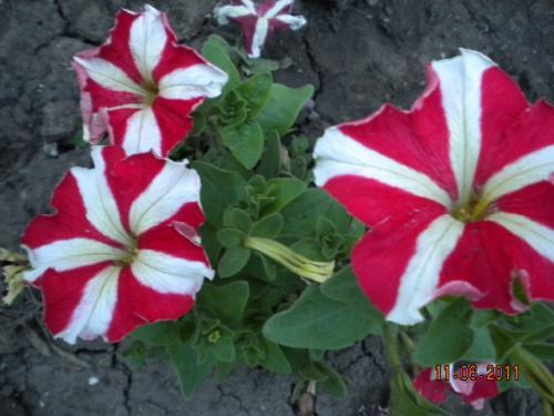Рассаду цветов весенних купить