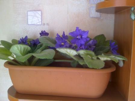 Фиалки цветы фото размножение