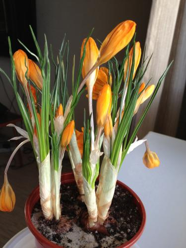 Фото оранжевых цветов с длинными узкими листьями