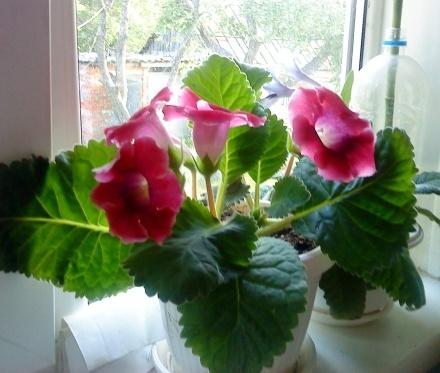 Комнатные цветы глаксиния как