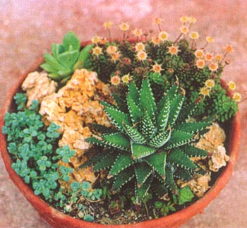 Женушка, хавортий очень много видов.  Можно даже композиции из хавортий, кактусов и любых суккулентов в плошках делать.