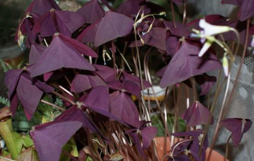 Сорняки с фиолетовыми цветами 75