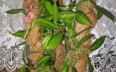 Ванильная орхидея в домашних условиях уход 656