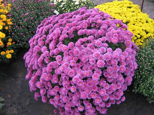 хризантемы фото низкорослые