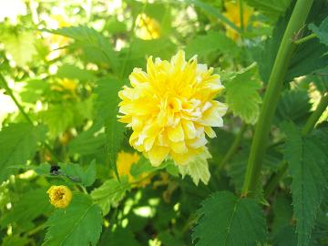 фото японская роза