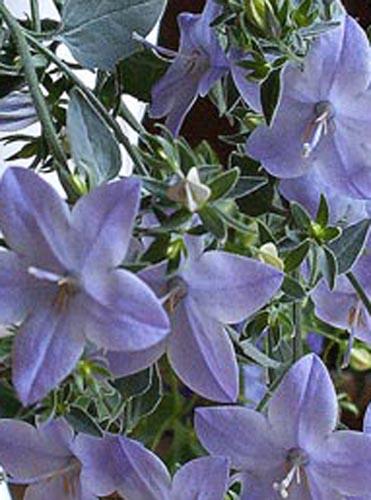 Комнатное растение гардения уход