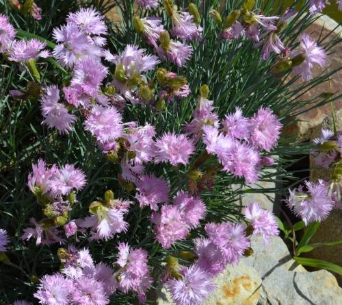 Гвоздика перистая очарование в саду 4