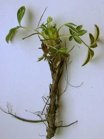 лапчатка белая выращивание и уход