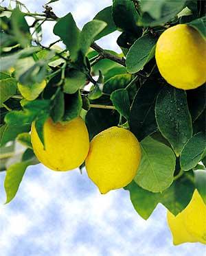 Как ухаживать за лимоном в домашних