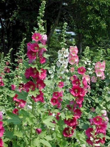 Цветок мальвина фото
