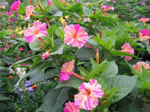 Зарянка цветок фото