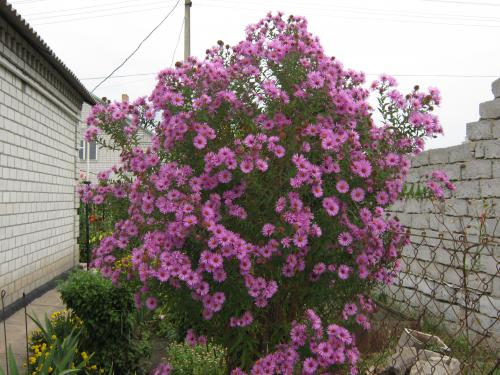 Астра многолетняя фото цветов
