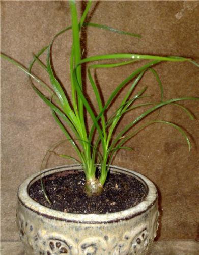 Бутылочное дерево нолина выращивание 909