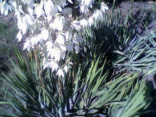Цветы клематис уход уход за