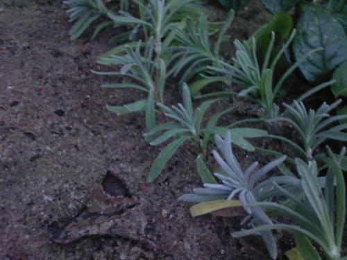 Лаванда из черенков выращивание 89