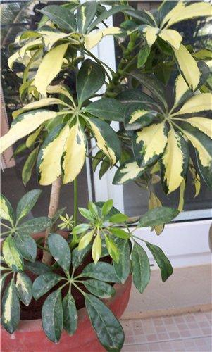 Фикус уход, выращивание, полив, посадка в домашних условиях