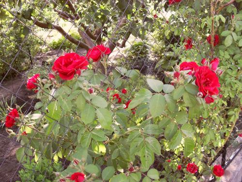 Домашняя роза осенью