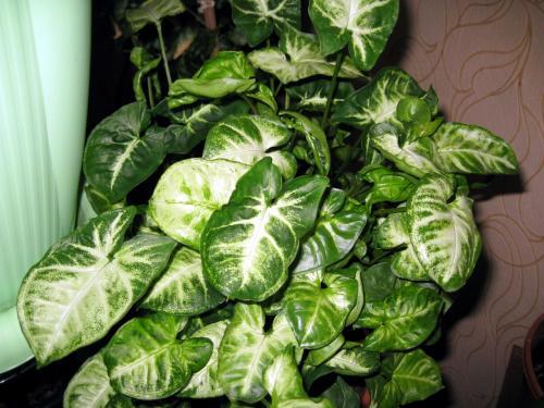 Сингониумуход и выращивание 23