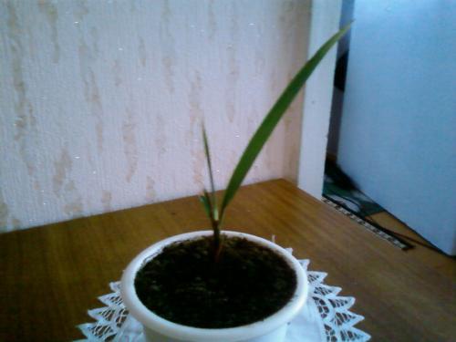 Как сажать финик канарский из магазинных семян 94